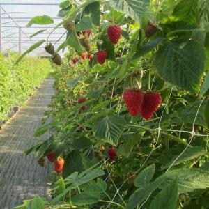 Rune Drockilas dignande hallonplantor i växthuset i Pyttis, Kvarnby
