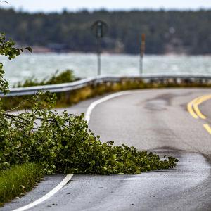 Ett träd med granna, gröna blad har i höststormen Aila delvis fallit över en väg.