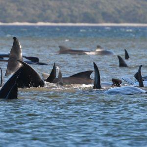 De strandade valarna trängs på en sandbank i Macquarine Harbour på Tasmaniens västkust.