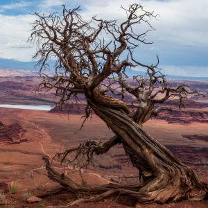 Methuselah, världens äldsta träd.