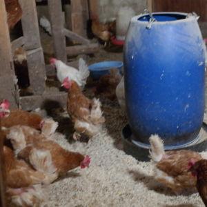 Vita och bruna höns går fritt inne i en hönsgård
