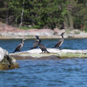 En flock med fem mörka stora fåglar sitter på en klippa.