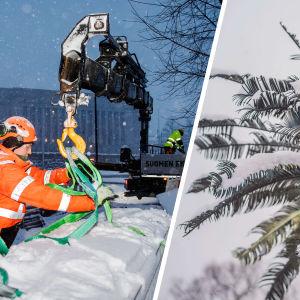 Bildcollage: Till vänster Jussi Alatalo sätter en snölast, Anssi Räisänen styrde kranen i utmanande väder i Helsingfors centrum. I bakgrunden kan du se riksdagshuset. Bilden till höger visar en palm täckt av snö.
