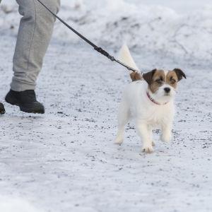Hund på isig väg.