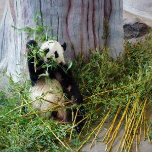 Isopanda syö bambua Ähtärin Pandatalossa