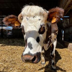 Ruskea-valkoinen lehmä katsoo kameraan.
