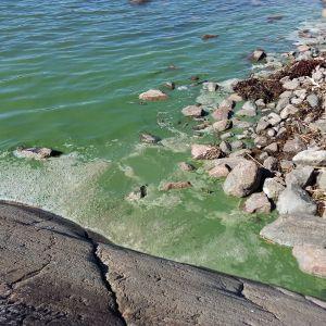 Blågröna alger i Houtskär.
