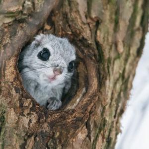 Liito-orava kurkkaa pesästään