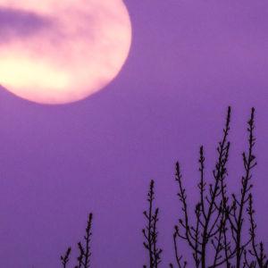 Kuu violetilla taivaalla, edustalla heiniä.