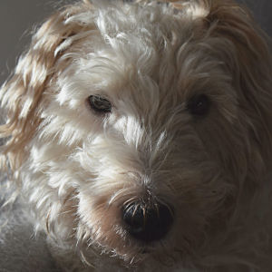 Ansikte av en hund