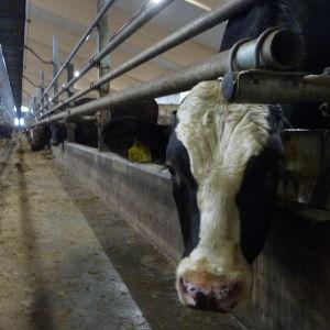 En ko sticker ut huvudet genom ett stängsel vid en ladugård.