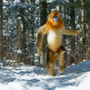 A golden snub nosed monkey walks through China's snow forests.
