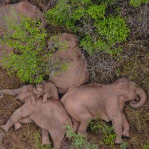 Elefanter som ligger och sover på marken.