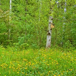 Maskrosor och fågelholk vid Gallträsk.