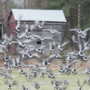 Hanhiparvi pyrähtää lentoon pellolta