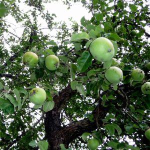 Äpplen i äppelträd
