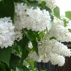 Vit syrenbuske blommar