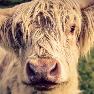 En blond, mycket hårig ko av rasen highland cattle stirrar in i kameran på nära håll.