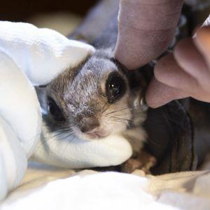 Liito-oravalle asennetaan radiopantaa.