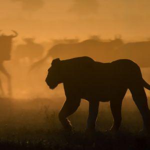 Näyttävä luontosarja viiden eläinperheen laumaelämästä, henkiinjäämiskamppailusta ja valtataistelusta.
