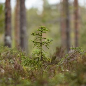 Granskott i skogen.