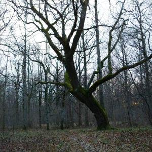Lehtipuumetsä syksyllä, lehdet tippuneet puusta, keskellä yksinäinen iso puu.
