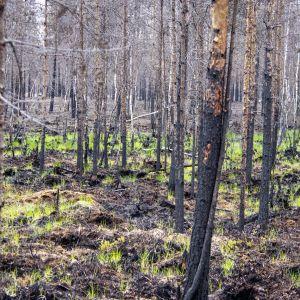 Metsäpaloaluetta vuosi palon jälkeen Muhoksella.