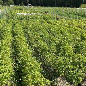 kuvassa perunapelto Kajaanissa.