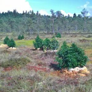 Cannabisplantor i nationalparken Kurjenrahka.