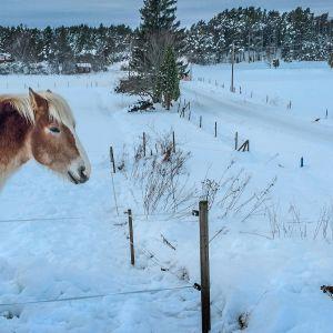 Hevonen talvimaisemassa.