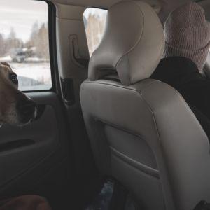 Hunden Lucky sitter i baksätet av en bil, Stefanie Lindroos kör.