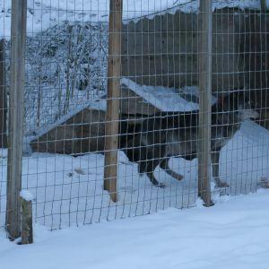 En varg i en inhägnad.