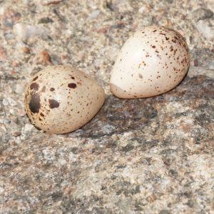 Två brunspräckliga fågelägg på en sten.