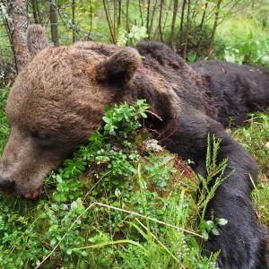 Kuollut uroskarhu makaa mättäällä Lieksassa elokuussa 2020.
