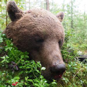 Ammuttu karhu makaa mättäällä Lieksassa elokuussa 2020.