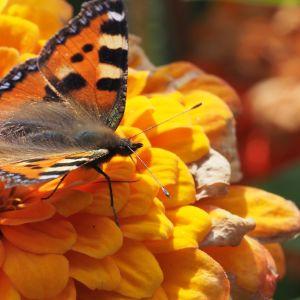 Nokkosperhonen oransissa kukassa