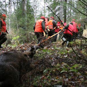 Flera män i rött drar en död älg genom skogen.