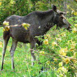 Älgtjur äter vinbärsbuskar