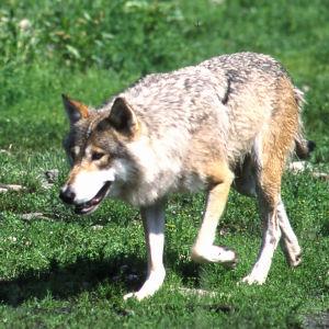 En varg går på en grön gräsmark.