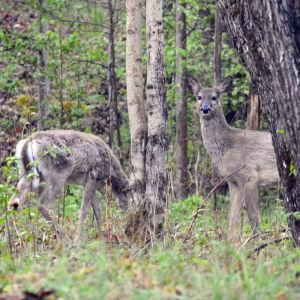 Två hjortar står i skogsbrynet och äter. Den ena tittar in i kameran.