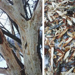 Vem har gjort dessa spår på 4-5m höjd på ett enskilt träd? undrar familjen Ilander från Borgå.