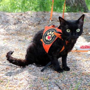 """En svart, kopplad katt med en sele på där det står """"Finlands lurviga kompisar""""."""