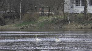 Sångsvanar i Borgå å