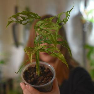 En kvinna håller en krukväxt framför sig. Växten är i fokus framför hennes ansikte, och i bakgrunden syns bara hennes siluett suddigt. Växten har långsmala blad, med stora hål.