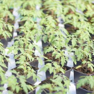 Tomatplantor i ett växthus.