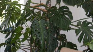 En storbladig krukväxt