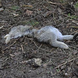 En död kanin