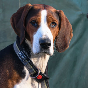 Hunden Lyx, vars husse heter Joakim Bergqvist, verksamhetsledare vid Borgå jaktvårdsförening