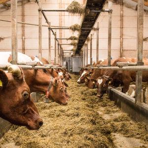 Kor i ladugård