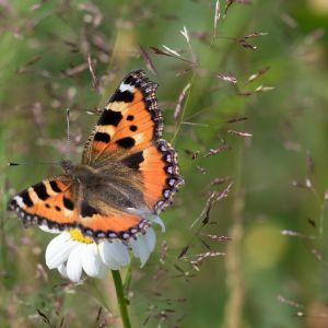 Nokkosperhonen oli vaisun perhoskesän 2020 ilonaihe.